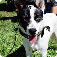 Adopt A Pet :: Rowdy - San Diego, CA