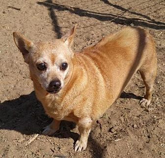 Chihuahua Dog for adoption in Jefferson, Texas - Honey