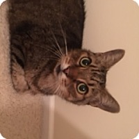 Domestic Shorthair Cat for adoption in Herndon, Virginia - Charlie