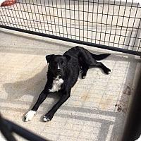 Border Collie Mix Dog for adoption in Cedaredge, Colorado - Pistol