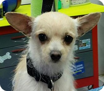 Chihuahua/Terrier (Unknown Type, Medium) Mix Puppy for adoption in Leduc, Alberta - Bentley