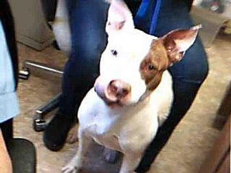 Pit Bull Terrier Mix Dog for adoption in Paradise, California - MISSY