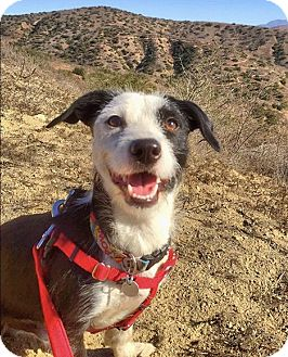 Jack Russell Terrier/Terrier (Unknown Type, Small) Mix Puppy for adoption in Irvine, California - Austin