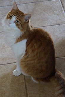 Domestic Mediumhair Cat for adoption in Alhambra, California - Stimpy