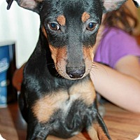 Miniature Pinscher Mix Puppy for adoption in Tijeras, New Mexico - Fiora