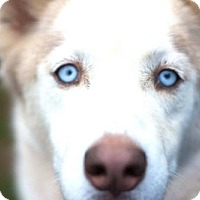 Adopt A Pet :: Wolfie Adoption Pending - Matthews, NC