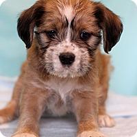 Adopt A Pet :: Amaya - Waldorf, MD
