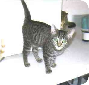 Domestic Shorthair Kitten for adoption in Lake Charles, Louisiana - Miranda