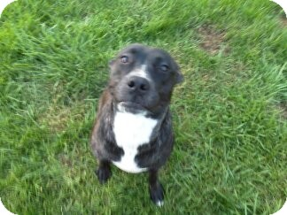 Moxy CP | Adopted Dog | Dayton, OH | American Pit Bull ...
