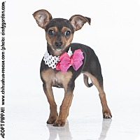 Adopt A Pet :: Pippa - Puppy - Dallas, TX