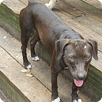 Black Mouth Cur/Labrador Retriever Mix Dog for adoption in Old Town, Florida - Little Bit