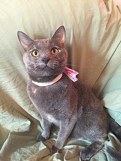 Domestic Shorthair Cat for adoption in Cerritos, California - Ariel
