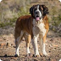Adopt A Pet :: Beethoven - Glendale, AZ