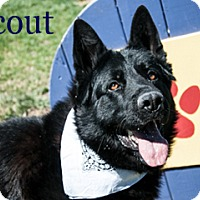 Adopt A Pet :: Scout - Hamilton, MT
