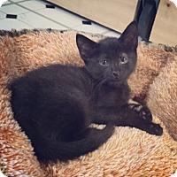 Adopt A Pet :: Bruce Wayne - Raleigh, NC