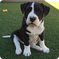 Adopt A Pet :: Morrison - Las Vegas, NV