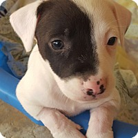 Adopt A Pet :: Puppy 1 - san antonio, TX