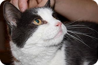 Domestic Shorthair Cat for adoption in Brooklyn, New York - Tim, The Sweetest Cuddler!