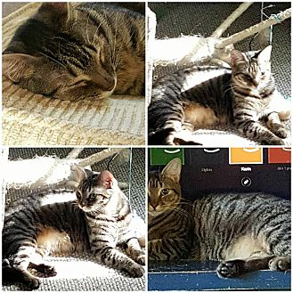 Domestic Shorthair Cat for adoption in Ocala, Florida - Rafiki