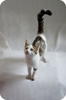 Domestic Mediumhair Kitten for adoption in Jefferson, North Carolina - Otis
