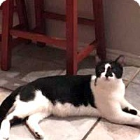 Adopt A Pet :: Cowboy CP Pam - Dallas, TX