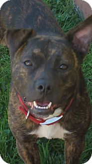 American Staffordshire Terrier/American Pit Bull Terrier Mix Dog for adoption in Eastpointe, Michigan - Chica