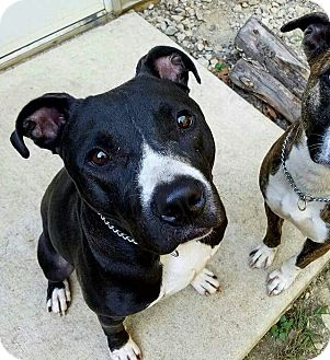 American Pit Bull Terrier/Pit Bull Terrier Mix Dog for adoption in Columbus, Ohio - Rookie