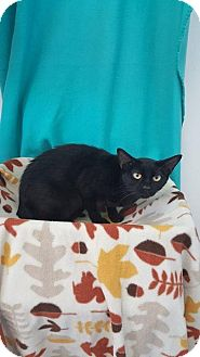 Domestic Shorthair Cat for adoption in Mt. Vernon, Illinois - Sisi