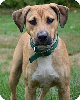 Boxer Mix Dog for adoption in Media, Pennsylvania - Ziggy