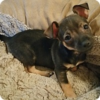 Adopt A Pet :: Killian-Fostered in KC - Bridgeton, MO