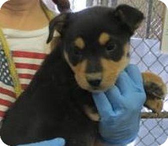 Labrador Retriever/German Shepherd Dog Mix Puppy for adoption in Monte Vista, Colorado - Twix