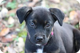 Labrador Retriever/Flat-Coated Retriever Mix Puppy for adoption in Glastonbury, Connecticut - Poppy