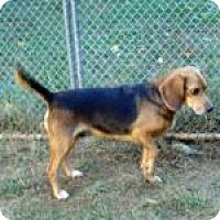 Adopt A Pet :: Sooner - Dumfries, VA