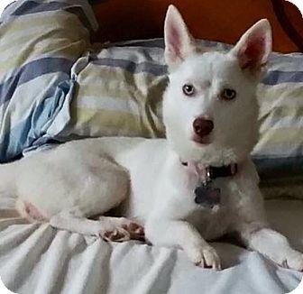 Pomeranian/Husky Mix Dog for adoption in Columbus, Ohio - Neekah