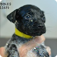 Cairn Terrier Mix Puppy for adoption in Conroe, Texas - Bubbles