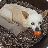 Adopt A Pet :: Toots - St Helena, CA