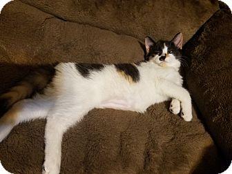 Domestic Shorthair Cat for adoption in Warren, Michigan - Rita Lynn (bonded w Pikachu)