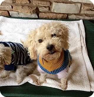 Poodle (Toy or Tea Cup) Mix Dog for adoption in Verona, New Jersey - Hermie: Adoption Pending