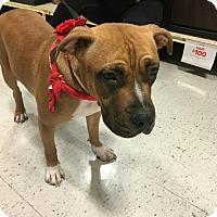 Adopt A Pet :: Majka - Las Vegas, NV