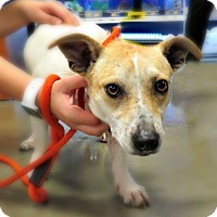 Adopt A Pet :: Missy - McKinney, TX