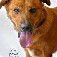 Adopt A Pet :: Ziva - Queenstown, MD