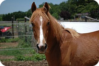 Quarterhorse Mix for adoption in York, South Carolina - Armstrong