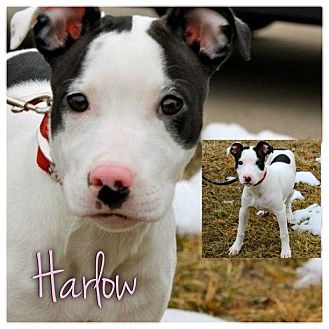 Bull Terrier/Border Collie Mix Puppy for adoption in Garden City, Michigan - Harlow