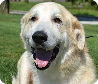 Great Pyrenees/Golden Retriever Mix Dog for adoption in Brattleboro, Vermont - Avis