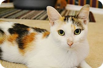 Calico Cat for adoption in Arlington/Ft Worth, Texas - Betsy