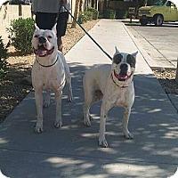 Adopt A Pet :: Danny - Scottsdale, AZ