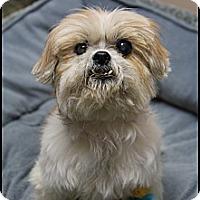 Adopt A Pet :: Olive - Rockwall, TX
