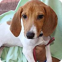 Adopt A Pet :: Gi Gi - Mesa, AZ