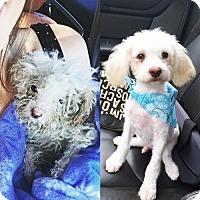 Adopt A Pet :: BENJAMIN BUTTON - Sun Valley, CA