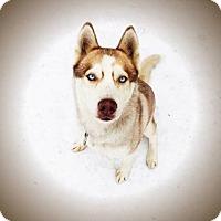 Siberian Husky Dog for adoption in Provo, Utah - Sjofn